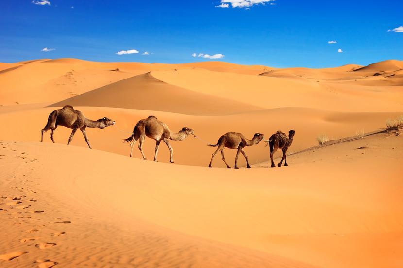 Картинки верблюдов караван 9